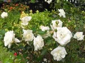 Hoa hồng bạch và mật ong trị ho hiệu quả khi trẻ bị viêm đường hô hấp trên