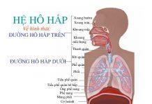 Đường hô hấp trên bao gồm xoang, mũi, thanh quản, hầu, họng